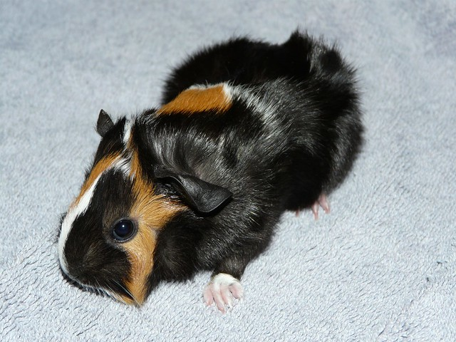 New Born Baby - Abyssinian Guinea Pig   Flickr - Photo ... - photo#34