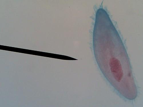 paramecium04