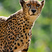 Cheetah - Photo (c) Tambako The Jaguar, some rights reserved (CC BY-ND)