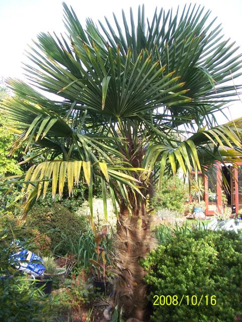trachycarpus fortunei flickr photo sharing. Black Bedroom Furniture Sets. Home Design Ideas