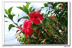 Hibiscus ~ c
