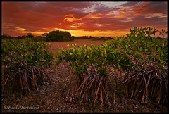 Red Mangroves and Red Sky