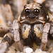 Wolf spiders - Photo (c) Farhan Bokhari, some rights reserved (CC BY-NC-ND)