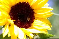 bee on a sunflower    MG 9170