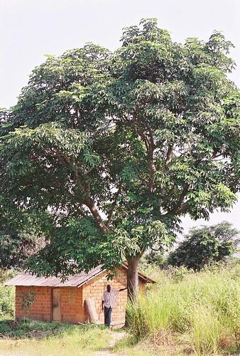 Njangsa tree