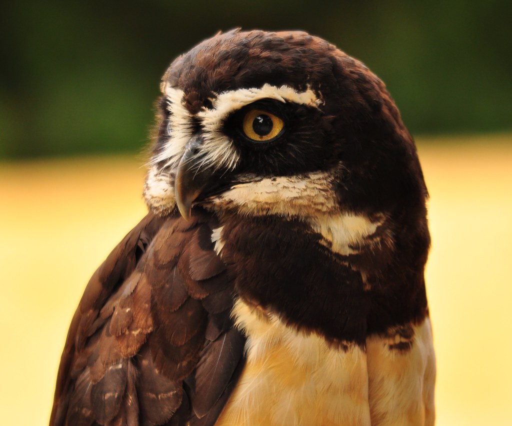 Spectacled Owl - Photo (c) Chris, some rights reserved (CC BY)