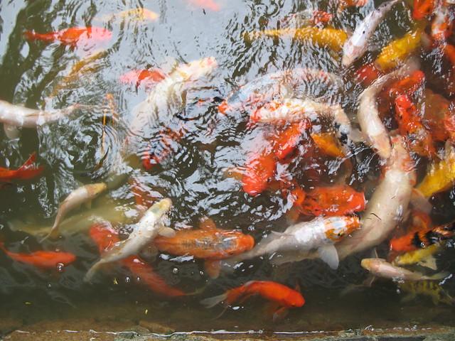 Carp and goldfish koi 3548 flickr photo sharing for Koi fish farm near me
