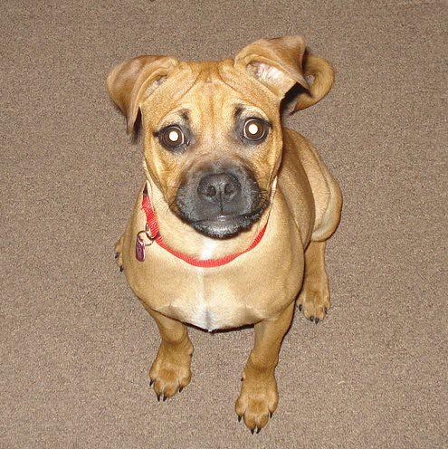 Suki, the Pug Pitbull | Flickr - Photo Sharing!