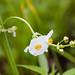 Sagittaria Flower