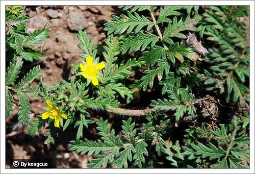 内蒙古植物照片-蔷薇科委陵菜属鹅绒委陵菜