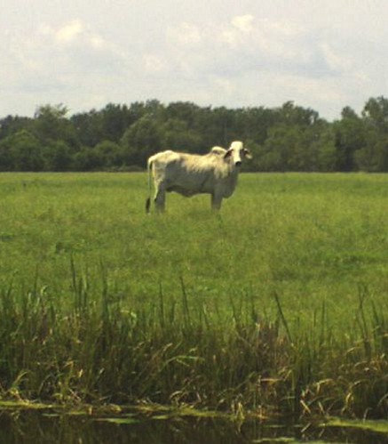 ALBINO CATTLE (WHAT IS THIS)