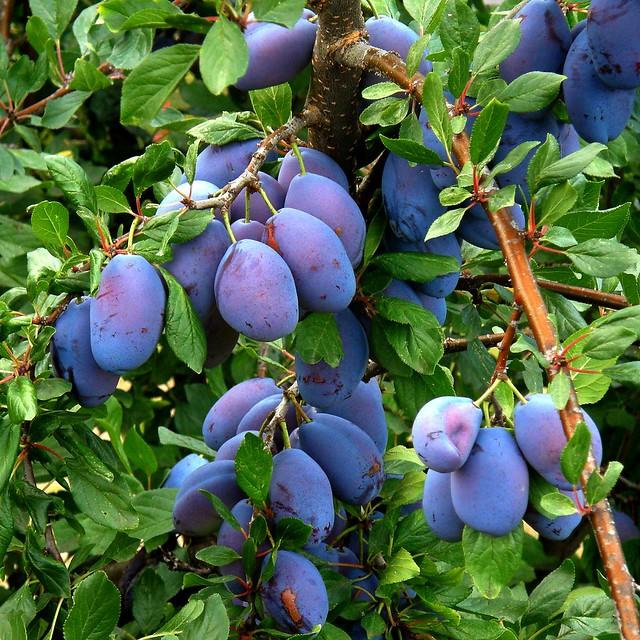 prunes / plums