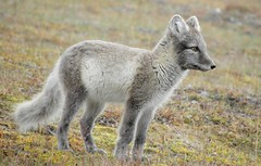 animal, czechoslovakian wolfdog, mammal, fauna, wolfdog, kit fox, coyote, wildlife,