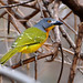 Grey-headed Bushshrike - Photo (c) Ian White, some rights reserved (CC BY-ND)