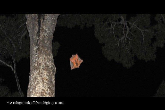 Colugo gliding from high up a tree