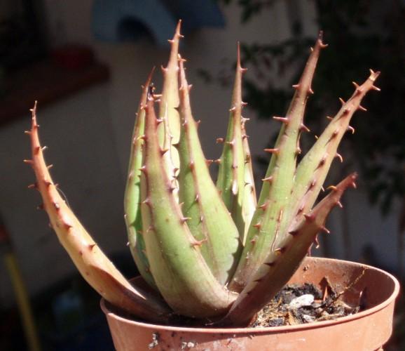 Aloe broomii 4039119745_59993b96e9_o