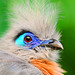 Portrait of a crested coua by Tambako the Jaguar