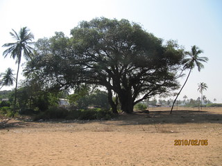 Image of Candolim Beach. india goa ficus banyan peral banyantree candolim indianfig ficusbengalensis indianbanyan ficusbenghalensis bengalfig eastindianfig borh nyagrodha