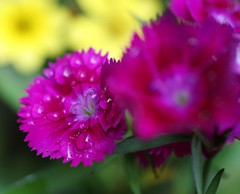 carnation(0.0), blossom(0.0), shrub(0.0), peony(0.0), annual plant(1.0), flower(1.0), purple(1.0), plant(1.0), macro photography(1.0), flora(1.0), dianthus(1.0), pink(1.0), petal(1.0),