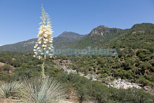 california park sky usa mountain plant flower color green nature beautiful america outdoors view desert scenic large national bloom tall wildflower stalk yucca blooming flowerhead chaparral whipplei hesperoyucca