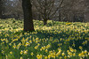 Carpet of Daffodils - Petworth (82) by Malcolm Bull