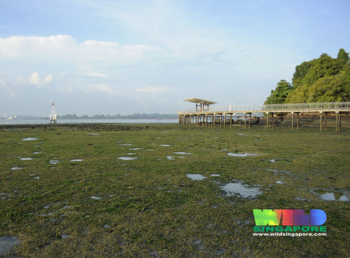 Lush seagrasses on Chek Jawa