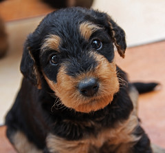 dog breed, animal, puppy, dog, schnoodle, pet, norfolk terrier, glen of imaal terrier, morkie, welsh terrier, cockapoo, dachshund, cavapoo, carnivoran, terrier,
