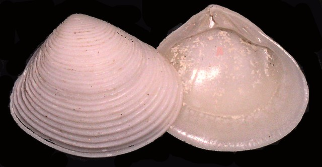 Header of Veneridae