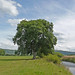 Small photo of Tree by the River Aire