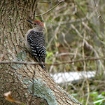 Red-bellied Woodpecker and Northern Flicker, Fire Island National Seashore