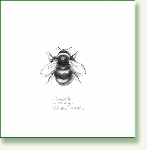 Bumble Bee, pencil drawing   Flickr - Photo Sharing!