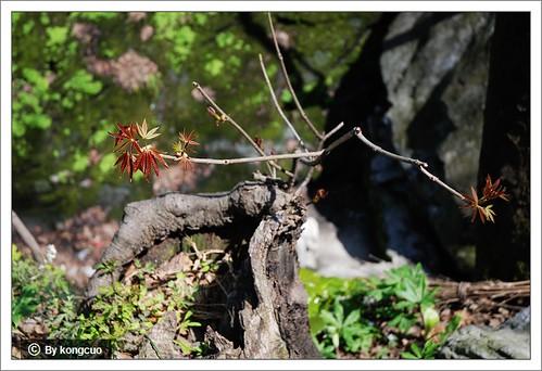 图:七叶树?(武当山)