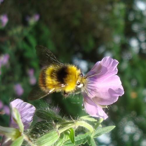 bumblebee 1103