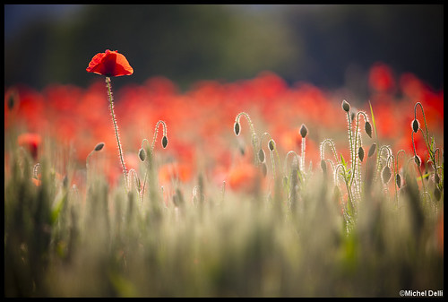 flowers red france alps nature fleurs alpes canon landscape rouge eos bokeh poppy poppies provence paysage flou haute alpesdehauteprovence coquelicots canon5dmkii 5dmkii 5dmk2