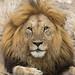 Portrait of a male lion by Arun Sundar