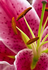 Lily - Large Crop