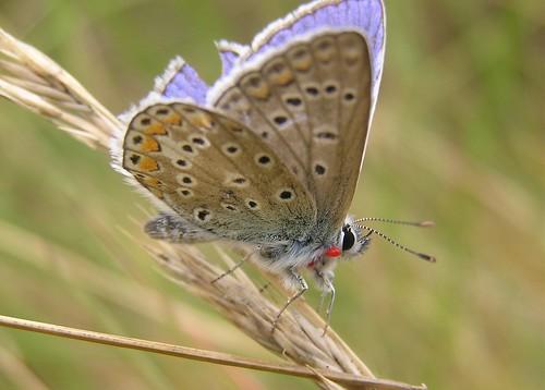 Polyommatus Icarus - Common Blue - Argus bleu ou Azuré commun - Juillet 09
