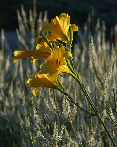 ohio sunrise cleveland kirtland holdenarboretum culversroot veronicastrumvirginicum hemorcalis lanterncourt talldaylilycultivar daylilymorning