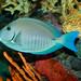 Small photo of Doctorfish, Acanthurus chirurgus