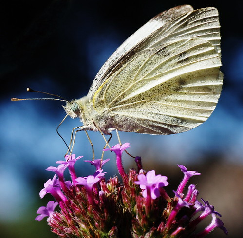 Large White - Pieris brassicae (f)