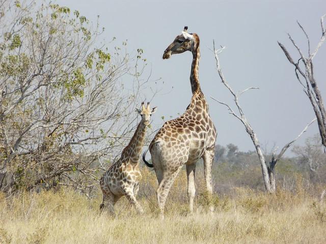 Jirafas en el Chobe National Park de Botswana