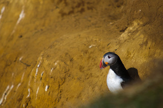Puffin at Flatey Island, Iceland