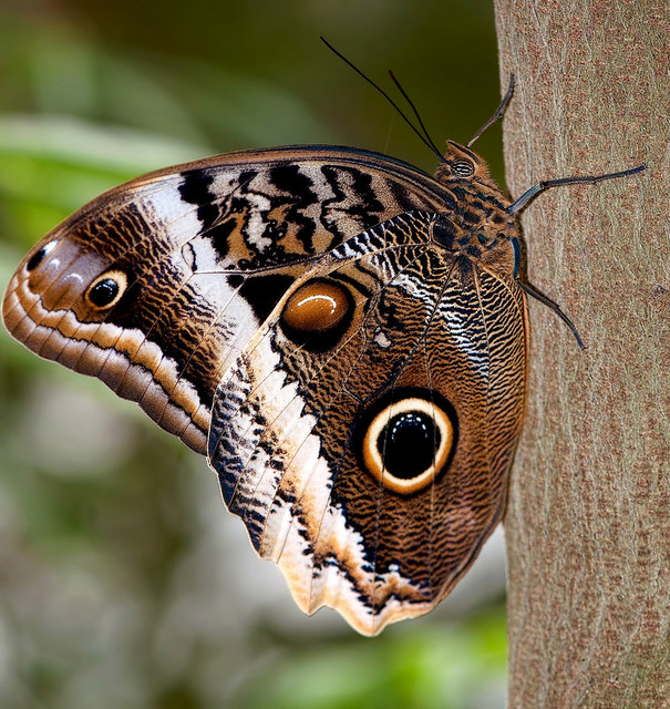 Owl butterfly - photo#7