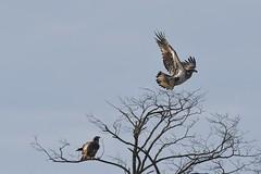 Juvenile bald eagle takeoff