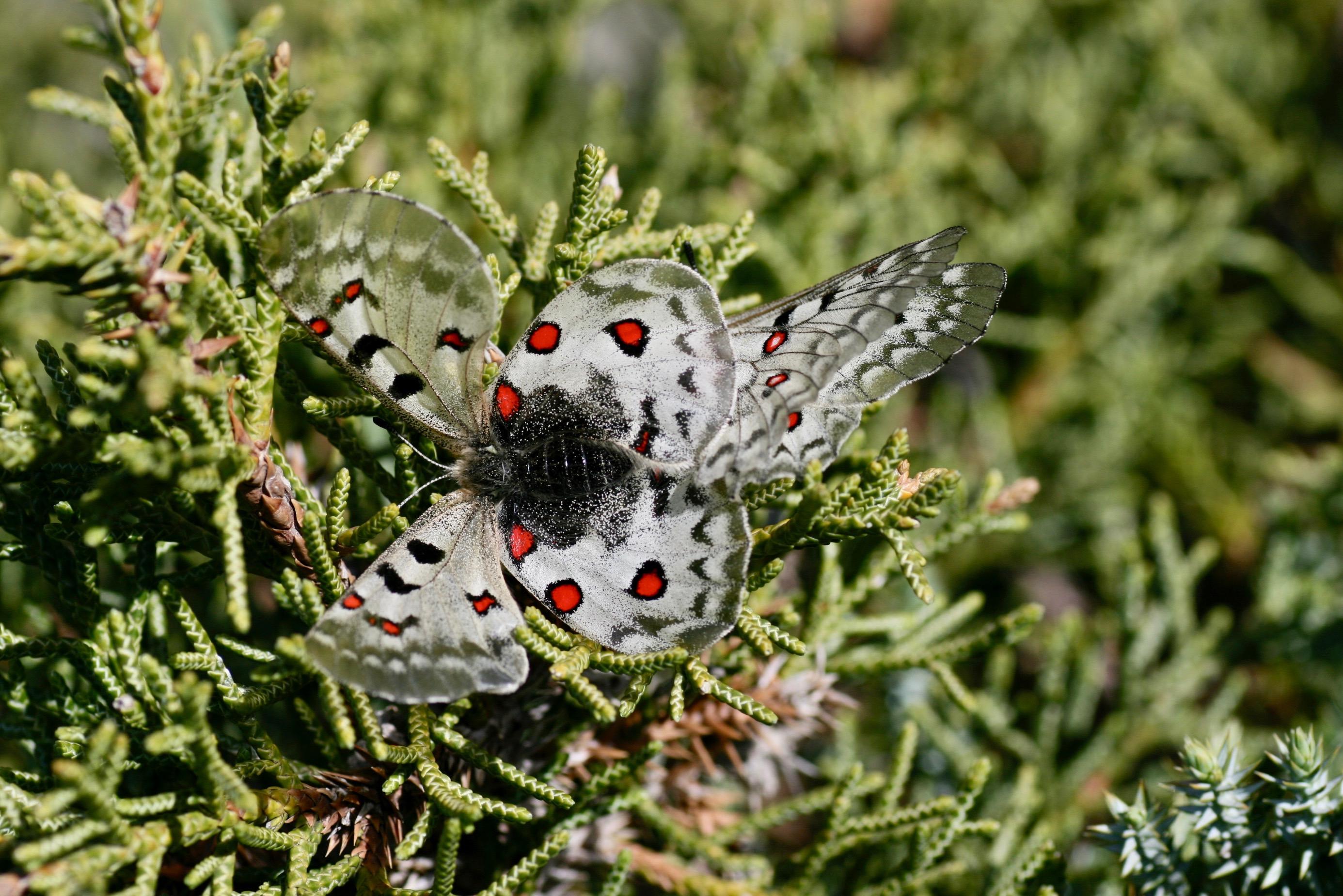 Parnassius jacquemontii (Papilionidae: Parnassiinae: Parnassiini)