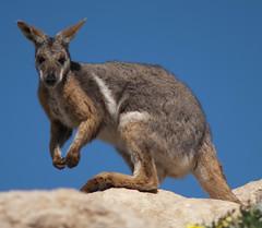 grey fox(0.0), wallaby(1.0), animal(1.0), marsupial(1.0), mammal(1.0), kangaroo(1.0), fauna(1.0), wildlife(1.0),