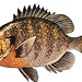Bluegill (Lepomis macrochirus) by NOAA Great Lakes Environmental Research Laboratory