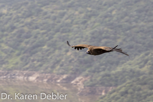 Black Vulture soaring over the Rio Tajo