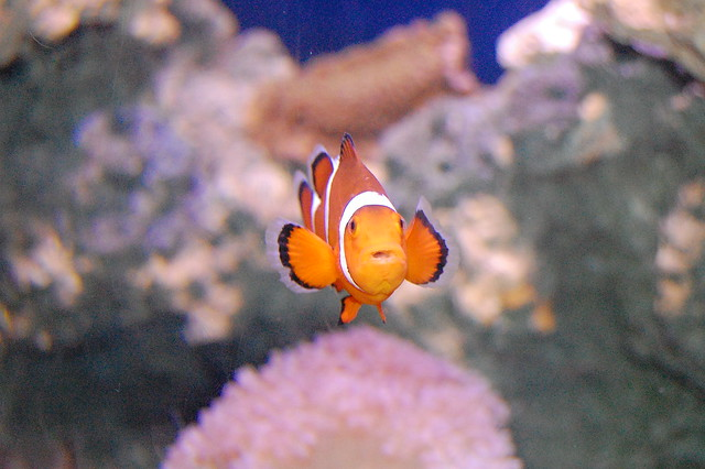 Clown fish 1 flickr photo sharing for Clown fish habitat