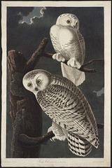 "Birds of America, ""Snowy Owl"""